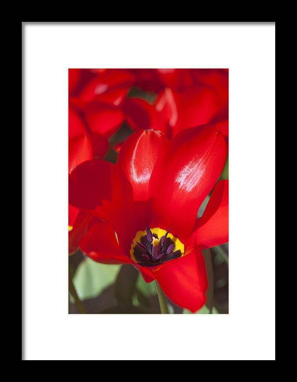 Agriculture Framed Print featuring the photograph Red Tulips by Andre Goncalves