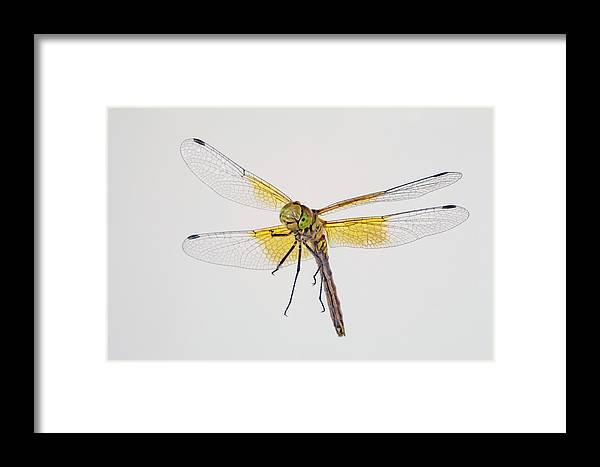 Dragonfly Framed Print featuring the photograph Red-veined Meadowhawk by Buddy Mays