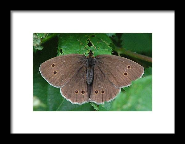 Ringlet Framed Print featuring the photograph Ringlet Butterfly by Colin Knight