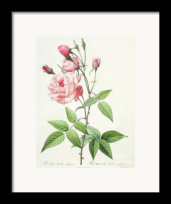 Rosa Framed Print featuring the drawing Rosa Indica Vulgaris by Pierre Joseph Redoute