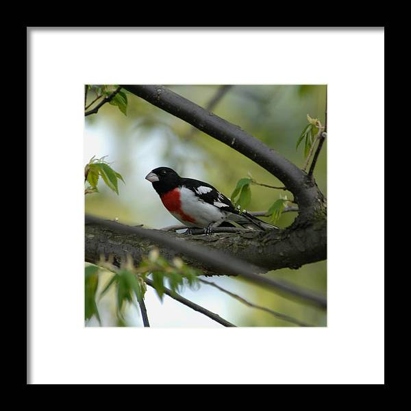 Nature Framed Print featuring the photograph Rose Breasted Grosbeak by Paul Gavin