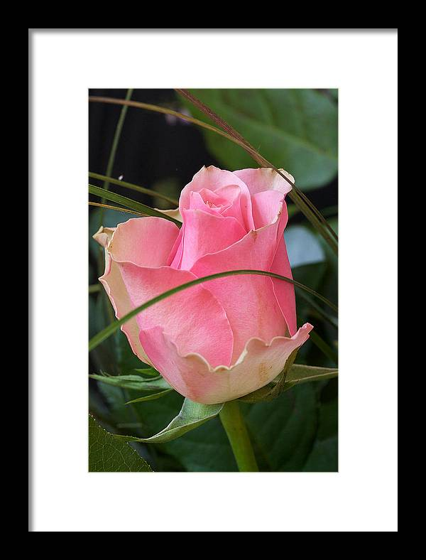 Rose Framed Print featuring the photograph Rose by Theo Tan