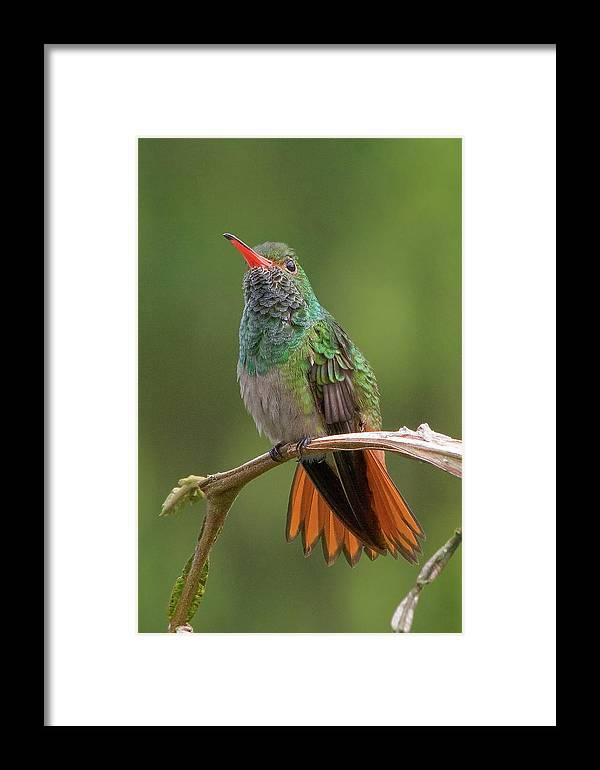 Bird Framed Print featuring the photograph Rufous-tailed Hummingbird by Ecuador Images