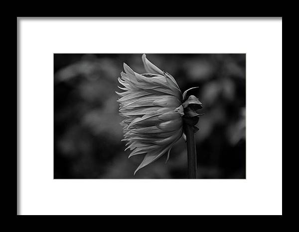 Dahlia Framed Print featuring the photograph Shut Out The Darkness by Michiale Schneider