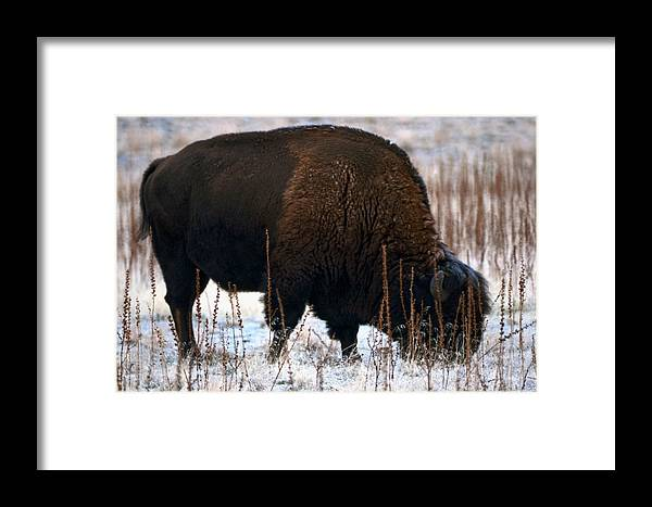 Bison Framed Print featuring the photograph Snowy Bison by Eric Nelson