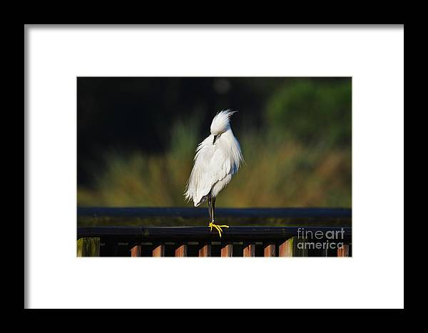 Snowy Egret Framed Print featuring the photograph Snowy Egret Portrait by Julie Adair