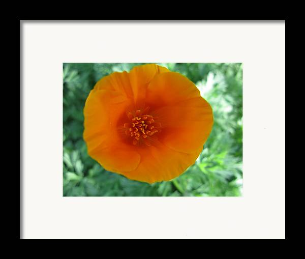 Flower Framed Print featuring the photograph Springs First Poppy by PJ Cloud