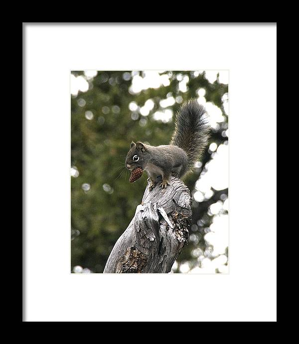 Squirrel Framed Print featuring the photograph Squirrel by Earl Nelson