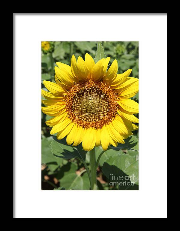 Sunflowers Framed Print featuring the photograph Sunflower 09 by Amanda Barcon