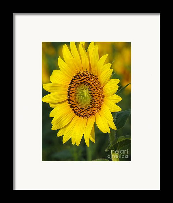 Sunflowers Framed Print featuring the photograph Sunflower by Amanda Barcon