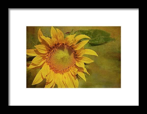 Sunflower Framed Print featuring the photograph Sunflower by Cindi Ressler
