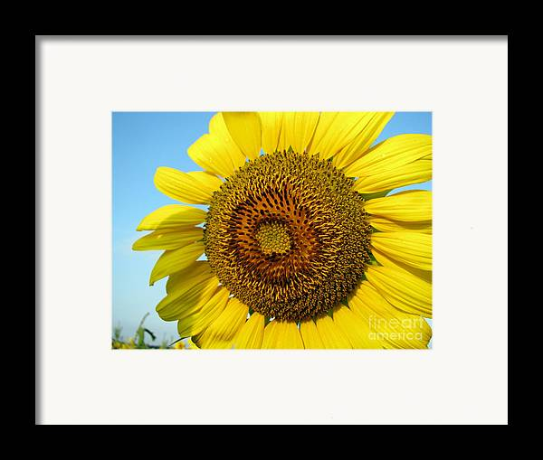 Sunflower Framed Print featuring the photograph Sunflower Series by Amanda Barcon