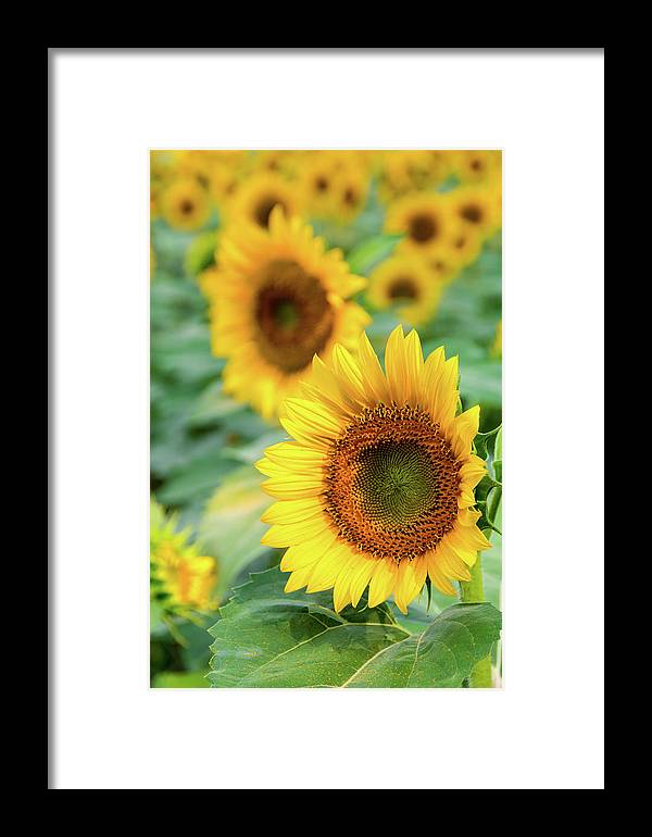 Agriculture Framed Print featuring the photograph Sunflowers Field by Irina Moskalev