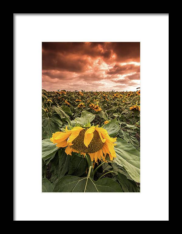Israel Framed Print featuring the photograph Sunflowers by Yatir Nitzany