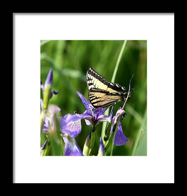 Butterfly Framed Print featuring the photograph Swallowtail Butterfly by Gord Patterson
