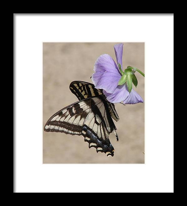 Butterfly Framed Print featuring the photograph Swallowtail by Liz Vernand