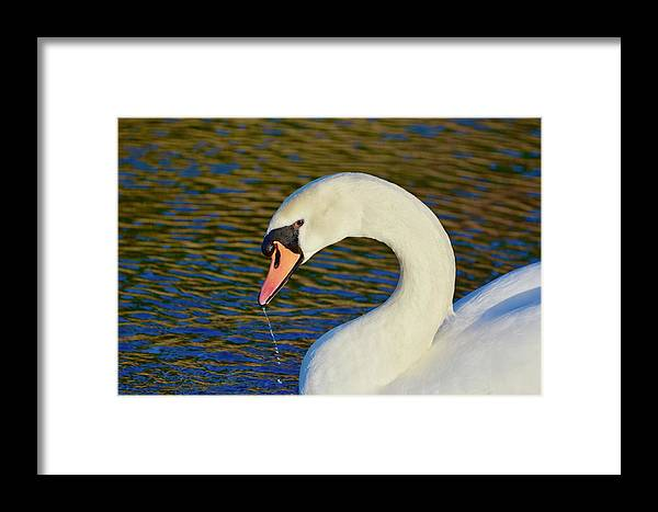 Mute Swan Framed Print featuring the photograph Swan 8 by Melanie Lewis