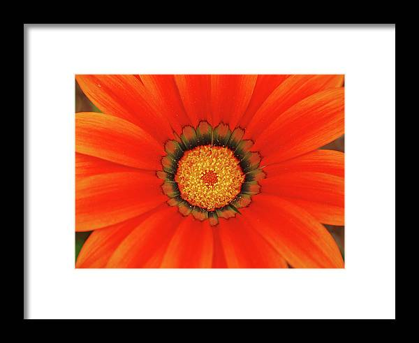 Daisy Framed Print featuring the photograph The Beauty Of Orange by Lori Tambakis