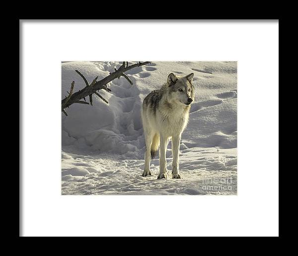 White Wolf Framed Print featuring the photograph The Gray Wolf by Carolyn Fox