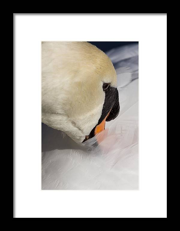 Swan Framed Print featuring the photograph The Quiet Swan by David Pyatt