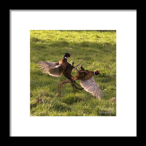 Pheasant Framed Print featuring the photograph The Sparring by Angel Ciesniarska