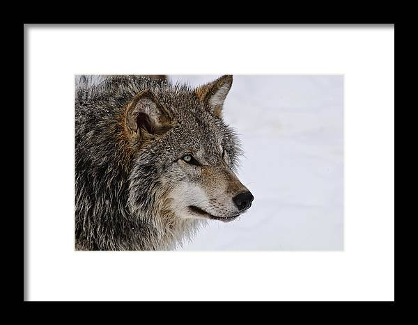 Michael Cummings Framed Print featuring the photograph Timber Wolf by Michael Cummings