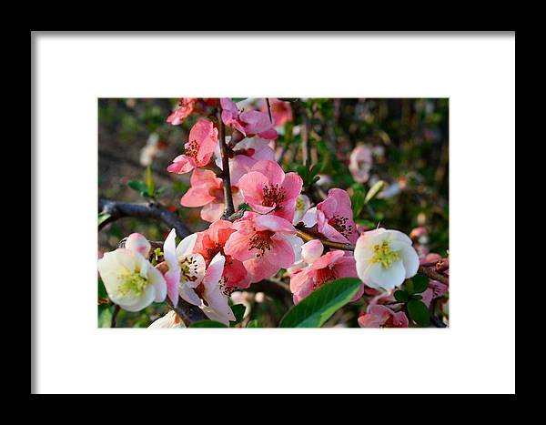 Toyo Nishiki Framed Print featuring the photograph Toyo-nishiki Quince by Kathryn Meyer