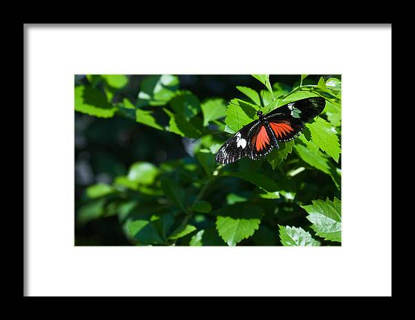 Tropical Framed Print featuring the photograph Tropical Butterfly by Douglas Barnett
