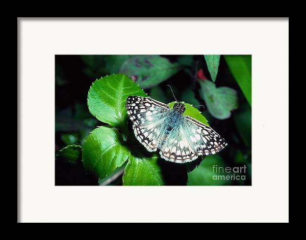 Tropical Checkered Skipper Framed Print featuring the photograph Tropical Checkered Skipper by Thomas R Fletcher