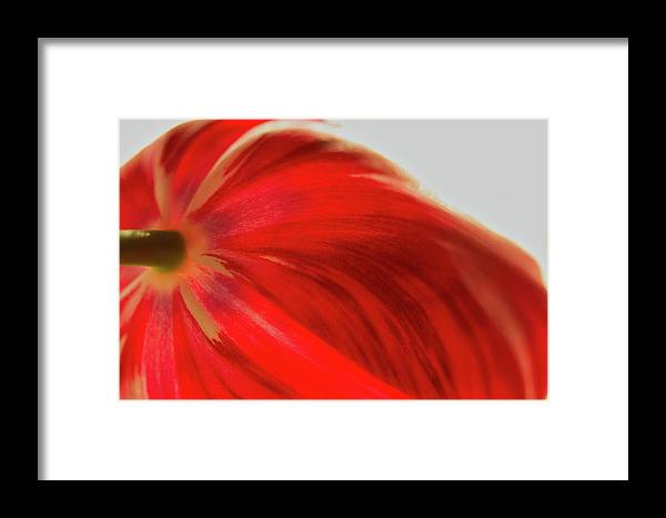 Tulip Framed Print featuring the photograph Tulip by Kevin Schwalbe