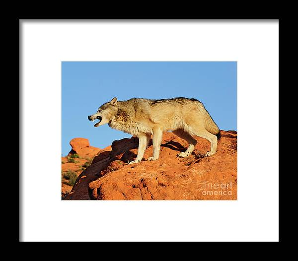 Wolf Framed Print featuring the photograph Tundra Wolf by Dennis Hammer