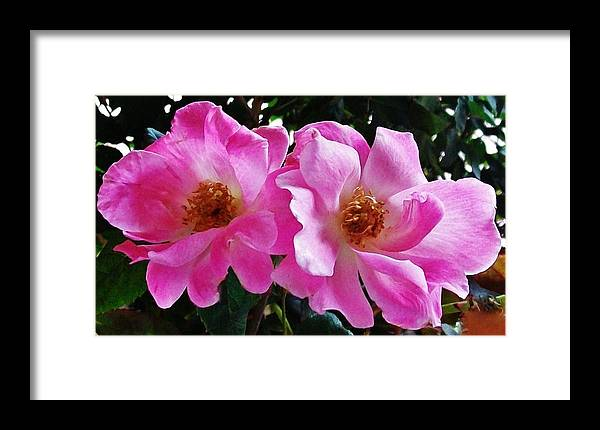 Photo Framed Print featuring the photograph Twin Roses by Marsha Heiken