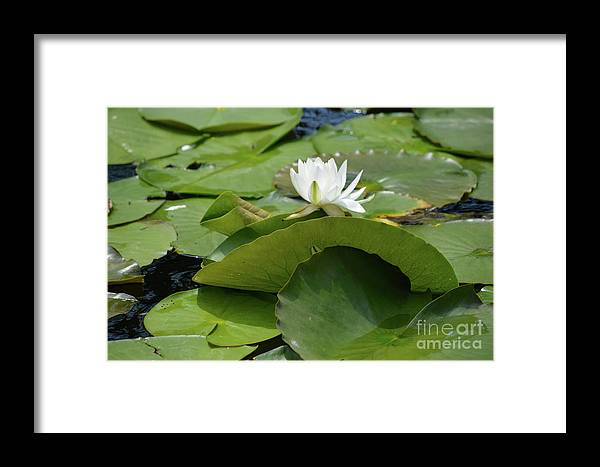 Water Lily Prints Framed Print featuring the photograph Water Lily by Ruth Housley