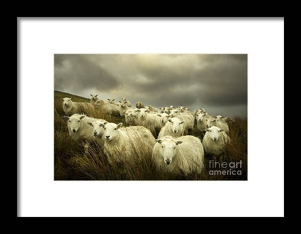 Sheep Framed Print featuring the photograph Welsh Lamb by Angel Ciesniarska