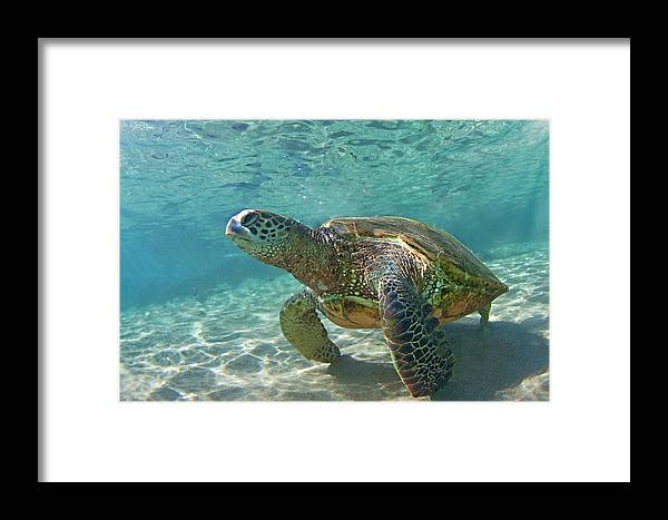 Maui Hawaii Black Rock Turtle Ocean Creatures Framed Print featuring the photograph What Are You Lookin At by James Roemmling