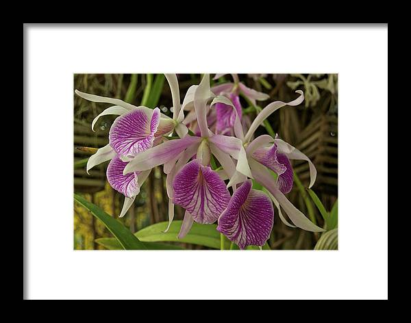 Orchids Framed Print featuring the photograph White And Purple Orchids by Michael Peychich