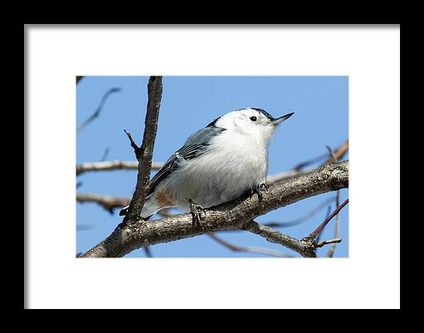 Canon Framed Print featuring the photograph White-breasted Nuthatch by Ricky L Jones