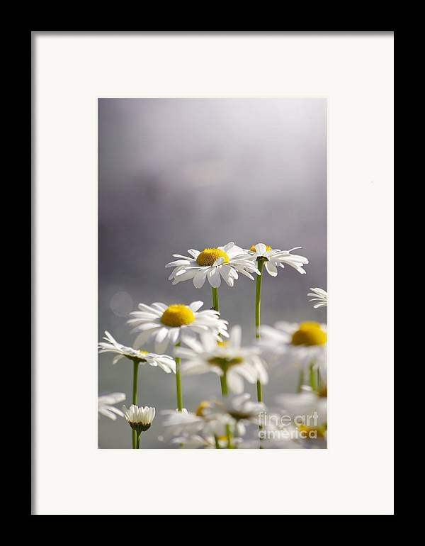 Agriculture Framed Print featuring the photograph White Daisies by Carlos Caetano