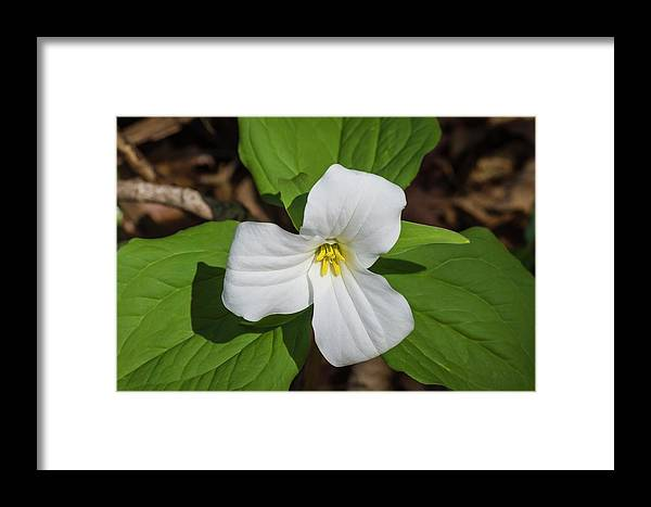 Beth Root Framed Print featuring the photograph White Trillium 3 by Bob Corson