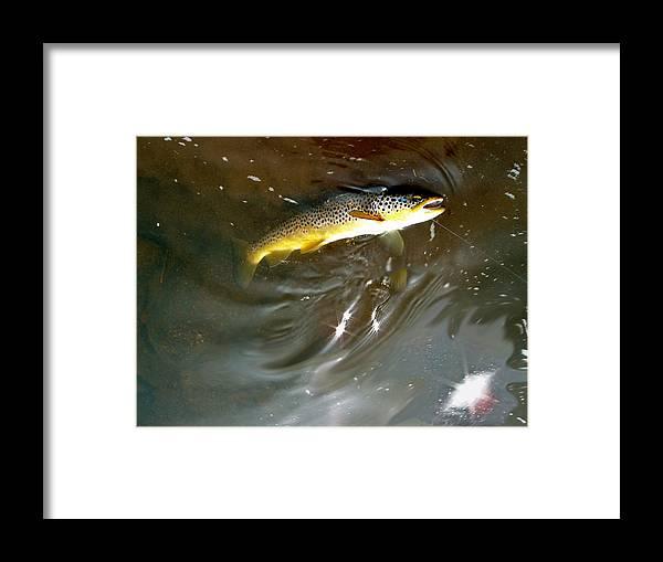 Salmo Trutta Photographs Framed Print featuring the photograph Wild Brown Trout by Mike Shepley DA Edin