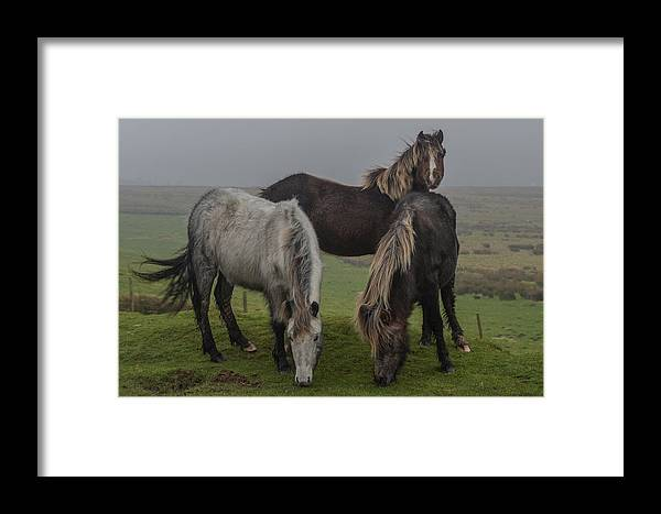 Wild Framed Print featuring the photograph Wild Ponies On The Preseli Mountains Pembrokeshire by Andrew Chittock