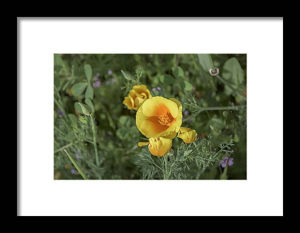 California Framed Print featuring the photograph Yellow And Orange Poppy by Jim Thompson