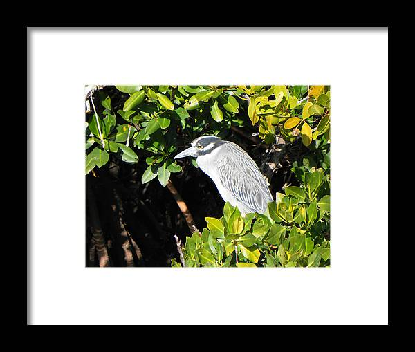 Bird Framed Print featuring the photograph Yellow Crowned Night Heron by Rosalie Scanlon