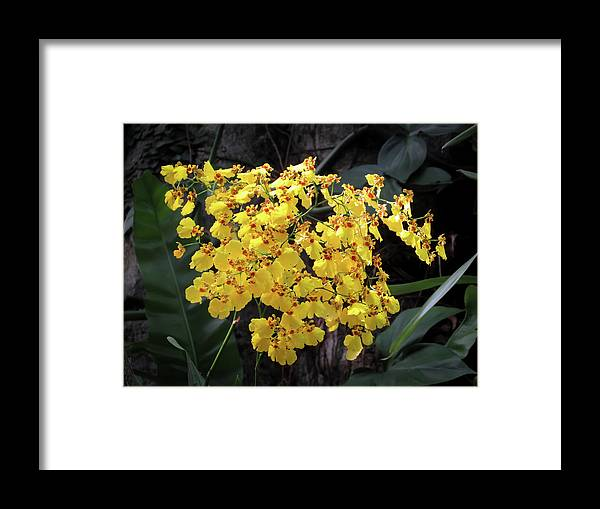 Orchid Framed Print featuring the photograph Yellow Orchids by Zina Stromberg