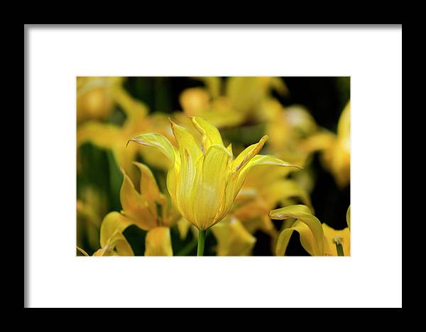 Tulips Framed Print featuring the photograph Yellow Tulips by Robert Ullmann