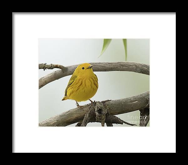 Bird Framed Print featuring the photograph Yellow Warbler by Dennis Hammer
