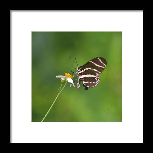 Rd Erickson Framed Print featuring the photograph Zebra Longwing Butterfly by rd Erickson