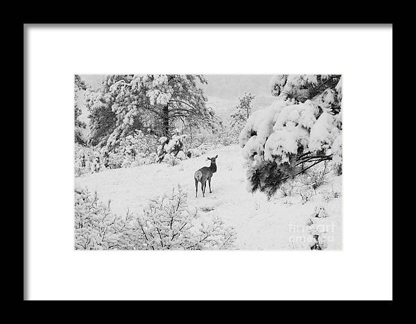 Elk Framed Print featuring the photograph Elk In Deep Snow In The Pike National Forest by Steve Krull