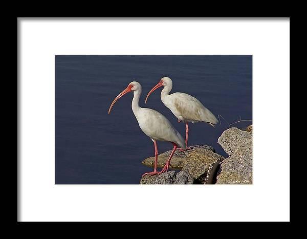 White Ibis Framed Print featuring the photograph 100b5790 White Ibis by Stephen Ham
