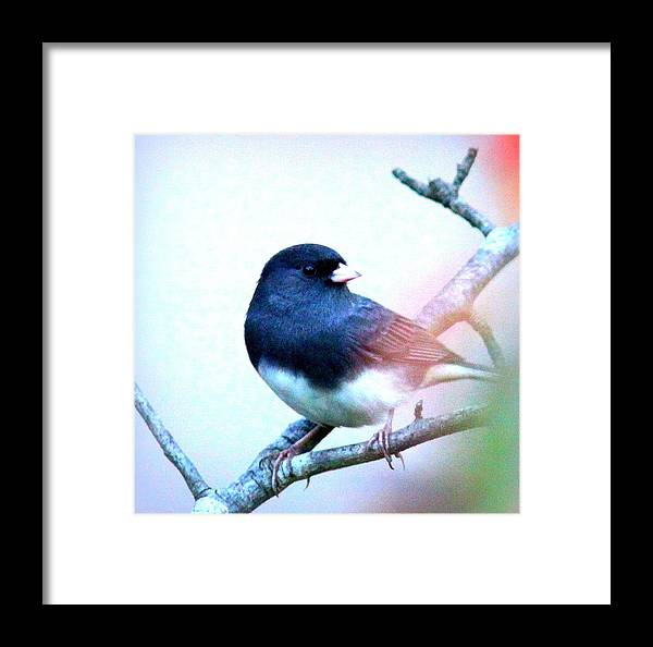 Junco Framed Print featuring the photograph 1052 - Junco by Travis Truelove